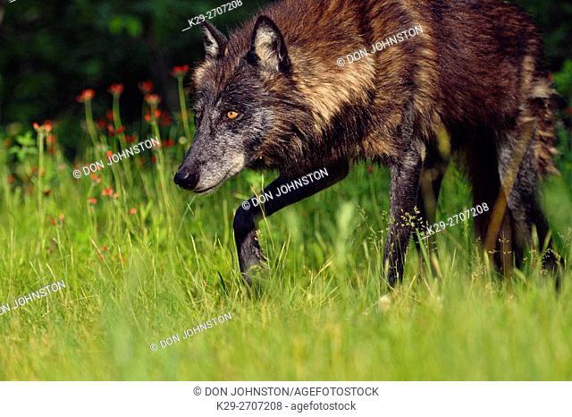 Gray wolf (Canis lupus} captive raised- Black morph adult, Minnesota Wildlife Connection, Sandstone, Minnesota, USA