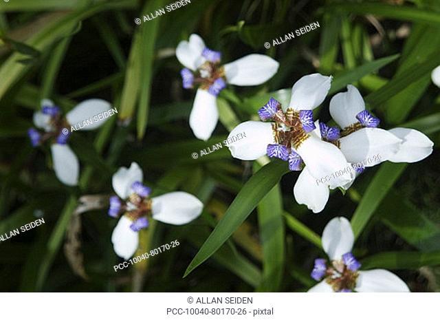 Cluster of beautiful walking iris