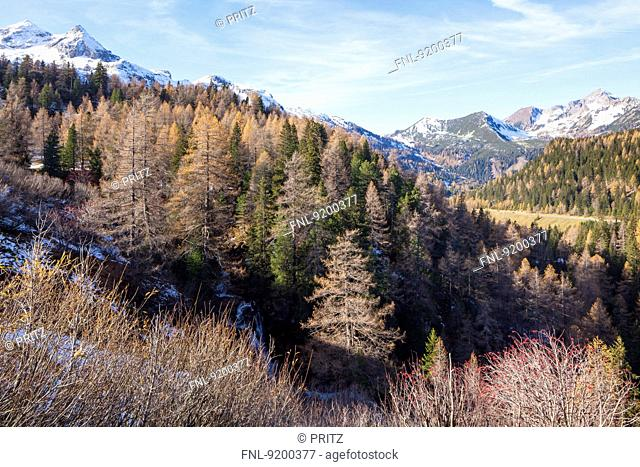 Larch forest with Vorderer und Hinterer Grosswandspitze, Salzburger Land, Austria, Europe