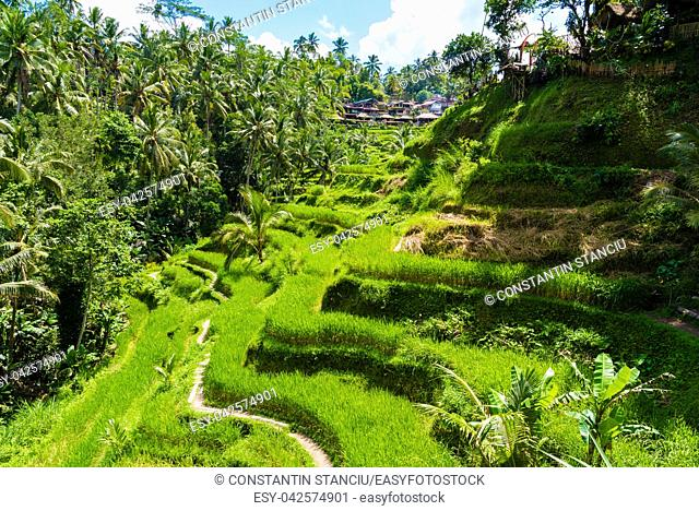 Bali, Indonesia - May 9, 2017 : View over Tegallalang rice terraces near Ubud, Bali, Indonesia