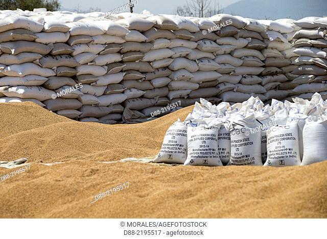 Asia,India,Madhya Pradesh,Hoshangabad district,Dhain village,near Satpura tiger reserve,wheat harvest