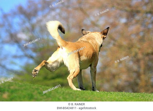 mixed breed dog (Canis lupus f. familiaris), nine years old Malinois mixed breed she-dog in a meadow, back view, Germany