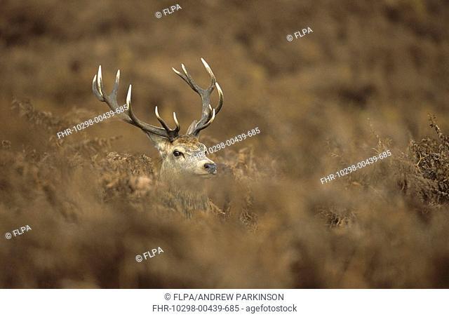 Red Deer Cervus elaphus Adult male amongst autumn Bracken - Bradgate Park, Leicestershire, England