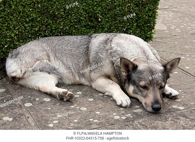 Domestic Dog, Swedish Vallhund, adult female, amputee with back leg missing, resting on garden paving, England, August