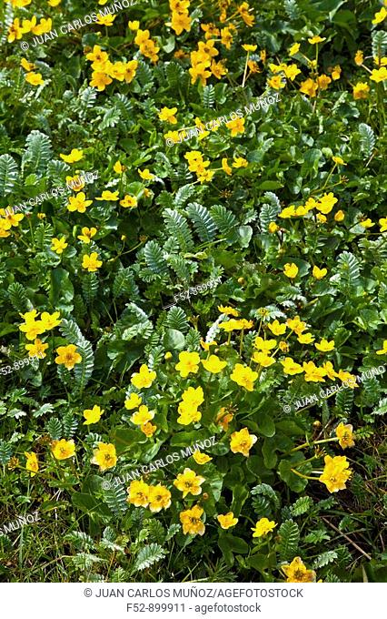Buttercups, Eriskay, Outer Hebrides, Scotland, UK
