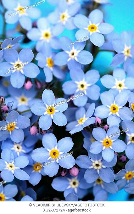 Forget-me-not flowers as a background