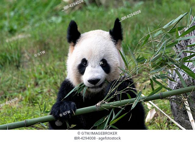 Giant Panda (Ailuropoda melanoleuca), adult, China Conservation and Research Centre for the Giant Panda, Chengdu, Sichuan, China
