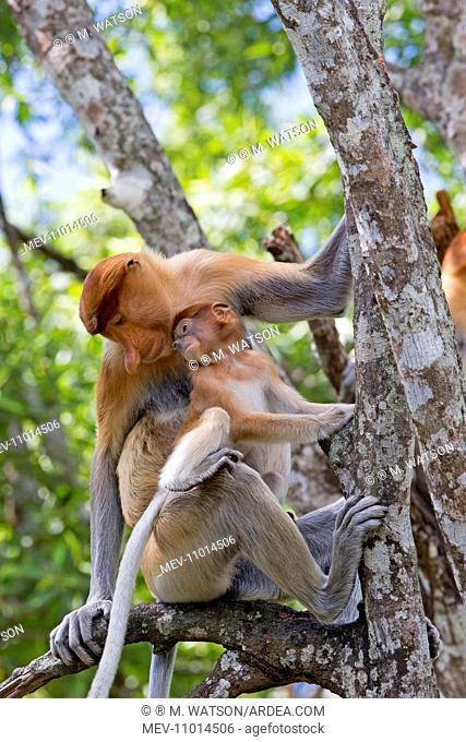 Proboscis / Long-nosed Monkey - adult female and baby Labuk Bay, Sabah, Malaysia, Borneo, Asia (Nasalis larvatus)