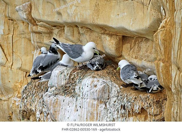 Kittiwake Rissa tridactyla adults and young, nesting colony on cliff, Seaford Head, East Sussex, England, july
