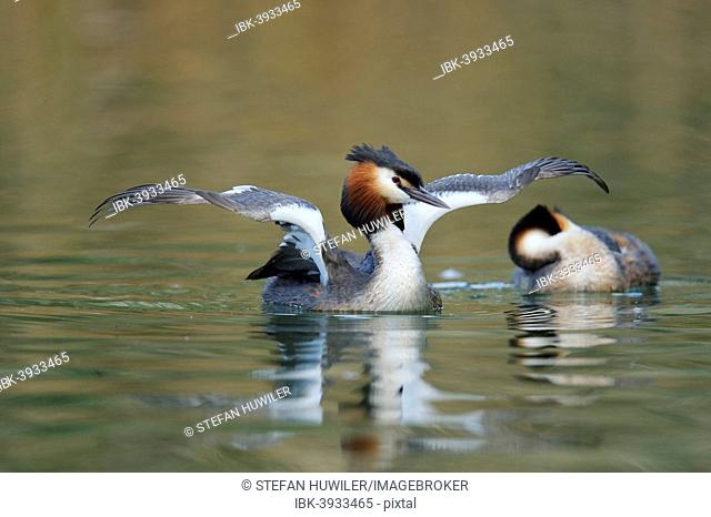 Great Crested Grebe (Podiceps cristatus), shaking its wings, Lake Lucerne, Canton of Lucerne, Switzerland