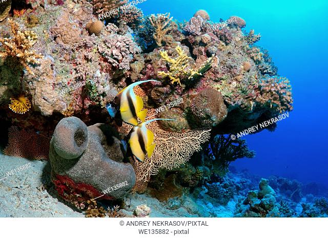 Pennant coralfish, longfin bannerfish or coachman (Heniochus acuminatus) Red sea, Egypt, Africa
