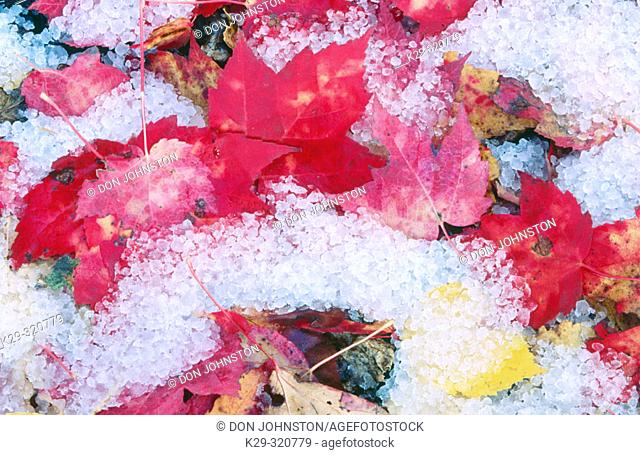 Red Maple leaves (Acer rubrum) covered with hail. Sudbury. Ontario. Canada