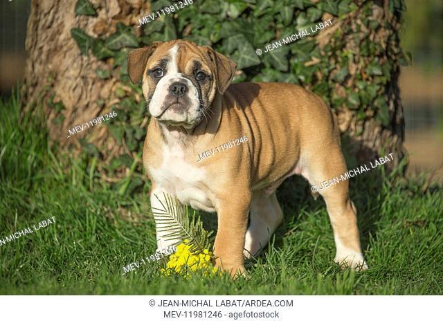 Dog, Continental bulldog puppy