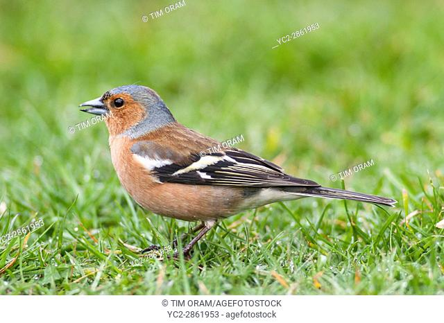 A Male Chaffinch (Fringilla coelebs) in the uk
