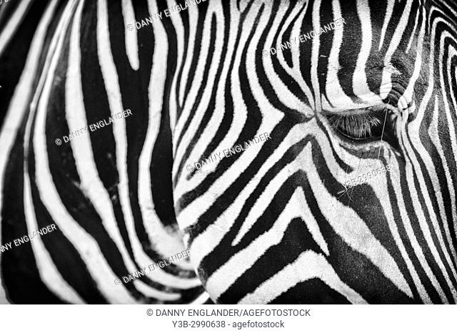 Close-up view of a zebra in black & white