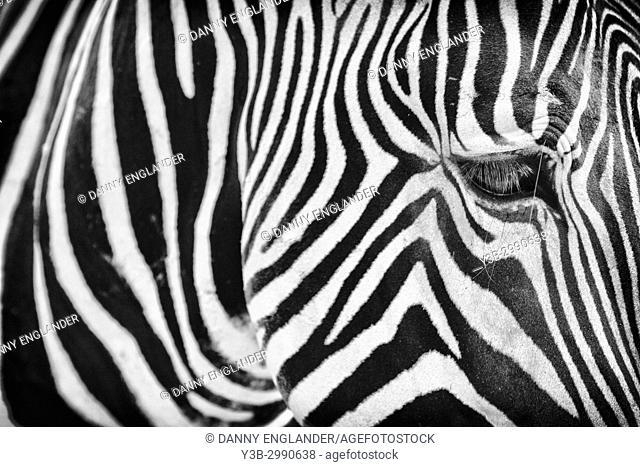 Close-up view of a zebra in black & white