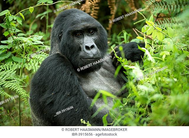 Mountain Gorilla (Gorilla beringei beringei), male, silverback, Bwindi Impenetrable National Park, Uganda