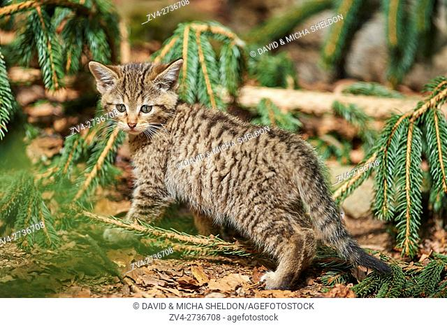 Close-up of European wildcat (Felis silvestris silvestris) kitten in spring in the Bavarian forest, Germany