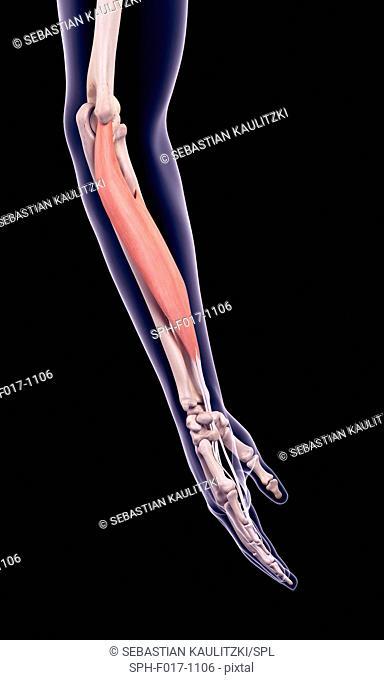 Illustration of the flexor digitorum superficialis muscle