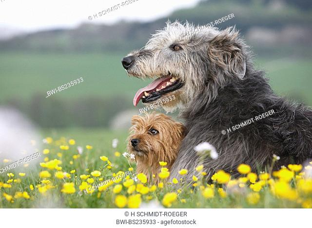 Australian Terrier Canis lupus f. familiaris, lying in a meadow with an Irish Wolfhound