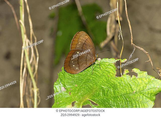 Assam Large Faun, Faunis eumeus assama, Brush-footed butterfly family, Satakha, Nagaland, India