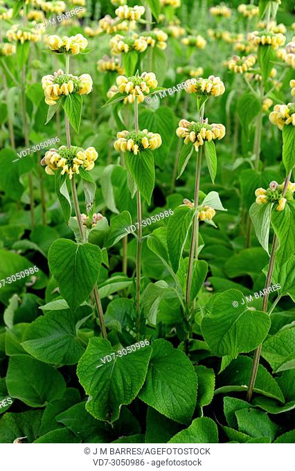 Hardy Jerusalem sage or Turkish sage (Phlomis russeliana) is a shrub native to Turkey and Syria