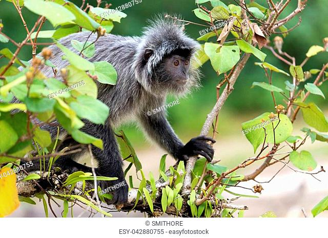 Silvered leaf monkey looking for figs on the tree, Bako National Park, Malaysia, Borneo