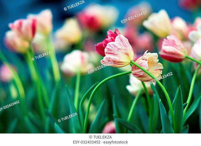 Colorful Tulip in the gardening and blurred background