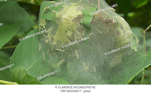 Fall Webworm Moth (Hyphantria cunea) caterpillars develop in a weblike tent built among the leaves of vegetation