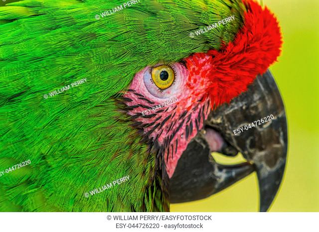 Green Military Macaw Parrot Ara militaris Green Red Feathers Beak