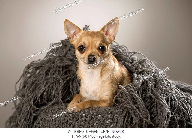 lying horthaired Chihuahua