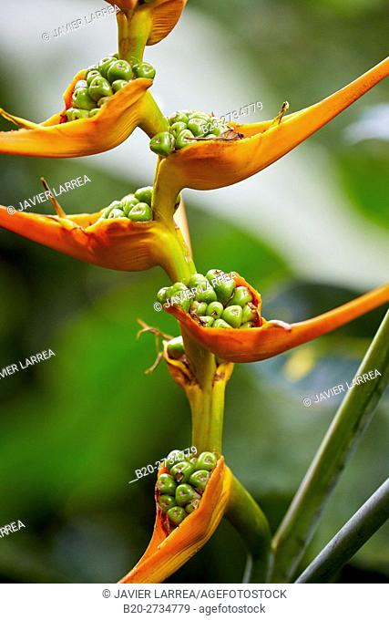 Heliconia, flower bird of paradise, Pereira, Risaralda, Colombia, South America