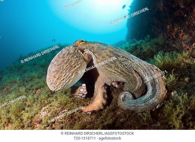 Common Octopus over Reef, Octopus vulgaris, Cap de Creus, Costa Brava, Spain