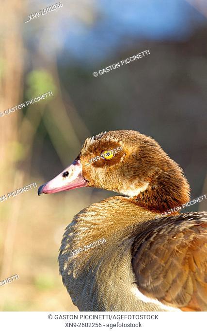 Egyptian Goose (Alopochen aegyptiaca), Sunset Dam, Kruger National Park, South Africa