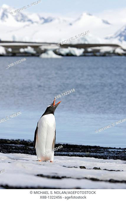 Adult gentoo penguin Pygoscelis papua calling out in the Aitcho Island Group, South Shetland Islands, Antarctica