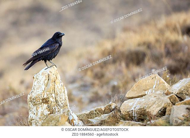 Raven Corvus corax perched on a stone  Pyrenees  Lleida  Catalonia  Spain