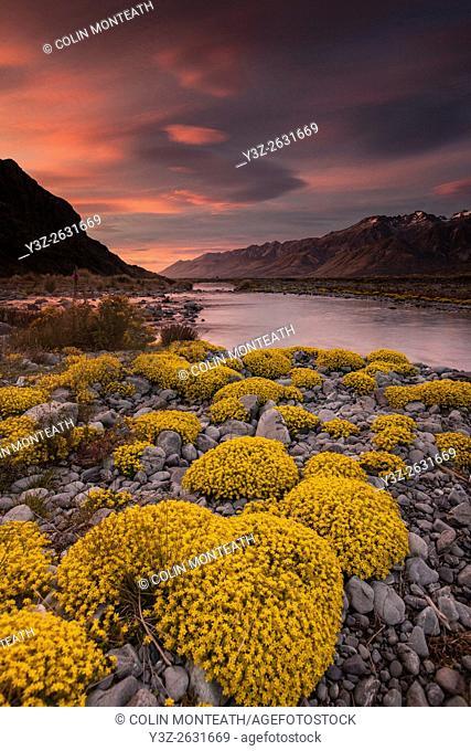 Myosotis species, ( mouse ears) cushion plant, sunset in Tasman river valley, Aoraki / Mount Cook National Park