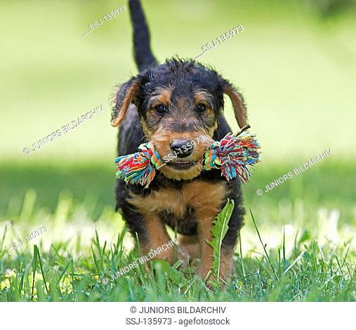 Airedale Terrier puppy with toy restrictions: Tierratgeber-Bücher / animal guidebooks , Zeitschriften / magazines till 4/2008