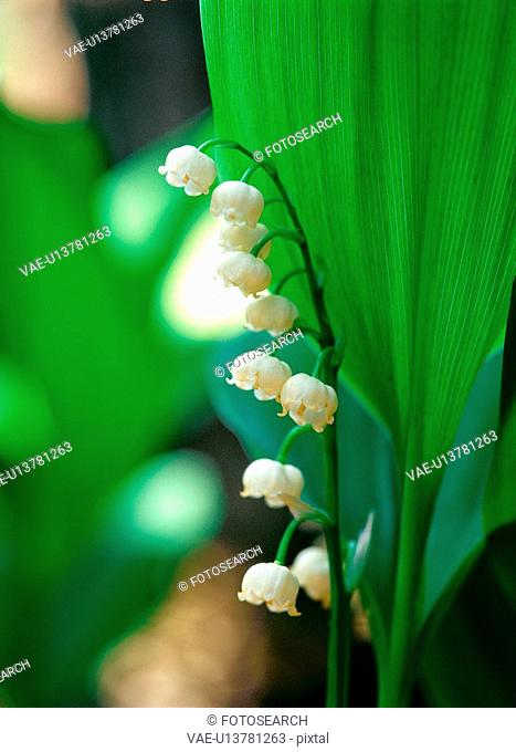 plants, nature, lilyofthevalley, flower, plant, film