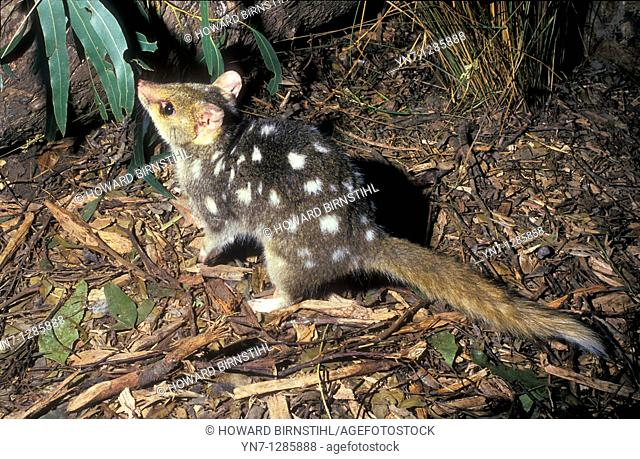 spotted quoll on rainforest floor