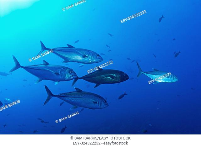 School of Bigeye Jack fishes (caranx sexfasciatus), Ecuador, Galapagos archipelago, Wolf Island, Pacific Ocean