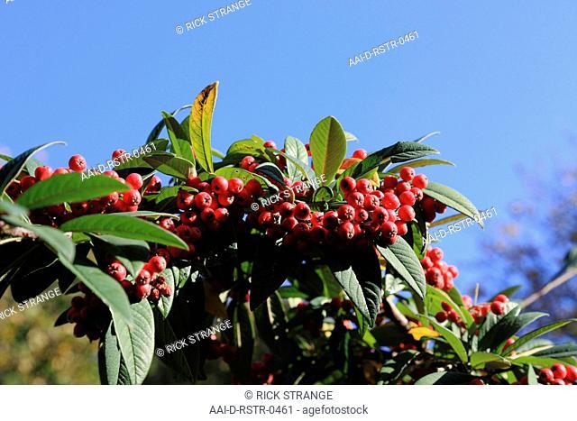 Cotoneaster berries, UK