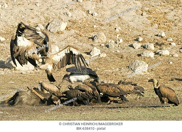 Fighting Cape Griffon or Cape Vulture (Gyps coprotheres) and Marabou Stork (Leptoptilos crumeniferus) at a animal cadaver in the dry riverbed, Boteti River
