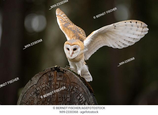 Barn owl (Tyto alba), landing on tomstone of Jewish cemetery, Czech Republic