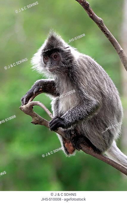 Silvered Leaf Monkey,Trachypithecus cristatus,Silvery Lutung,Silvery Langur,Labuk Bay,Borneo,Malaysia,Sabah,Asia,adult on tree