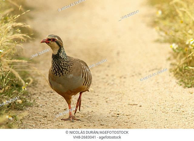 Red-legged partridge (Alectoris rufa) walk by road. Sierra de San Pedro. Province of Badajoz. Extremadura. Spain
