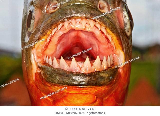 Brazil, Amazonas state, Amazon river basin, along Rio Ipixuna, Red-bellied piranha or Red piranha (Pygocentrus nattereri)
