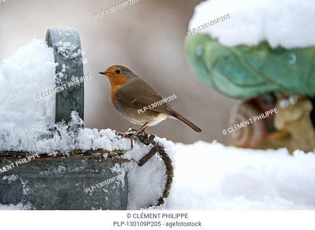 European Robin Erithacus rubecula perched on metal watering can in garden in the snow in winter