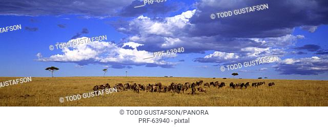 Wildebeest Maasai Mara Kenya