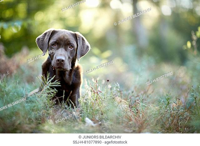 Labrador Retriever. Chocolate adult sitting in a forest. Germany